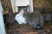 Кролики Ризен,  Серый Великан. Клетки